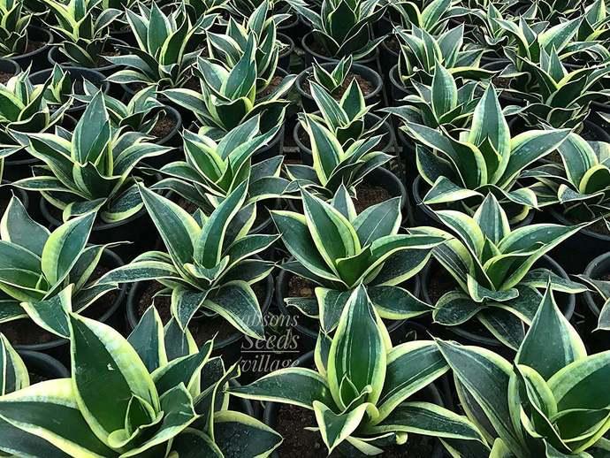 Rare Sansevieria Jade Dwarf Good Luck Plant  Rhizomes / Bulbs
