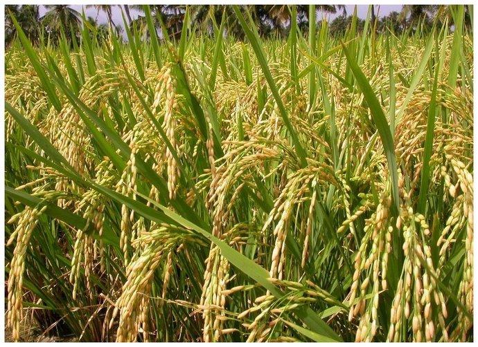 Red Rice Paddy Seeds Red Sali Rakta Sali Rakthashali Raktasali Raktha Shali