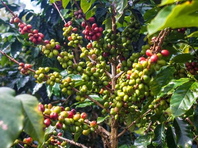 Fresh Ripe Coffee Seed Beans For Growing Coffee Plants Healthy Hand Picked