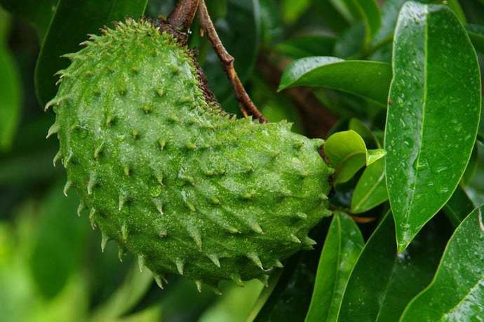 Soursop / Annona Muricata / Graviola / Guanabana Seeds for farming