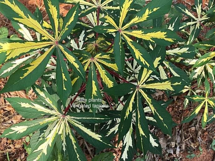 Rarest Yellow Verigated Tapioca Manihot Esculenta / Cassava ( 5 Inch )