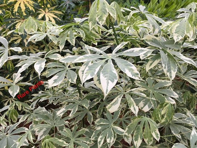 Rarest Verigated Tapioca Manihot Esculenta / Cassava( 5 Inch )