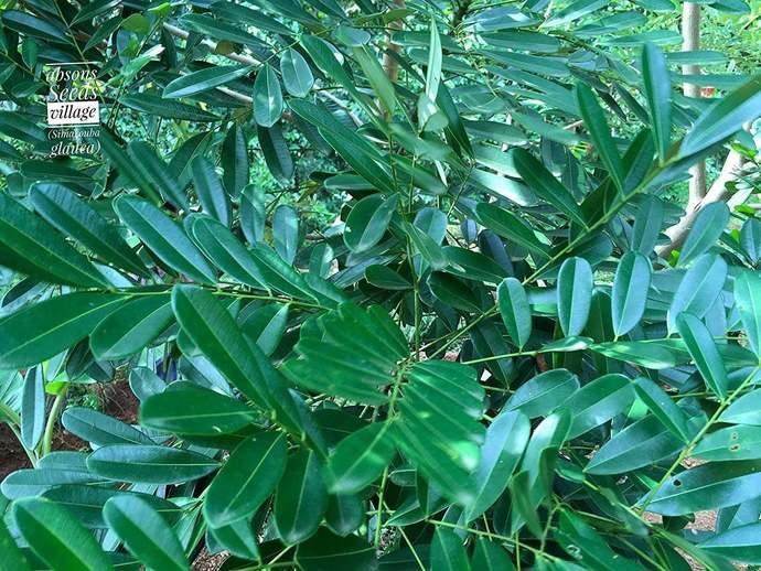 Paradise Tree – Simarouba glauca (Miracle Tree/Lakshmi Taru) – Cures
