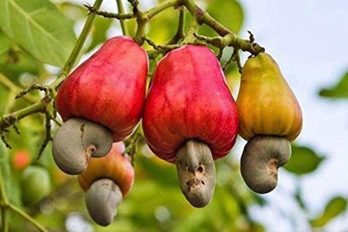 Hoxem Cashew Nut Seeds - Pack of 15 Seeds