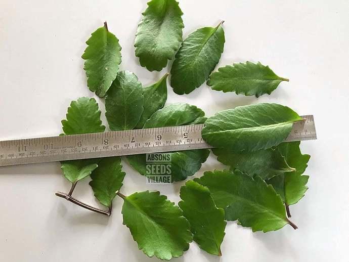 Bryophyllum pinnatum,Miracle Leaf,Katakataka,Life Plant Pashan Bheda