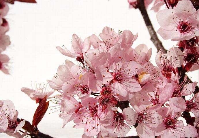 Cherry Blossom-Home Fragrance Oil-Warmer / Burner Oil- 2 Fluid Ounces