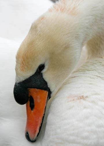 A mute swan resting  with its head against body