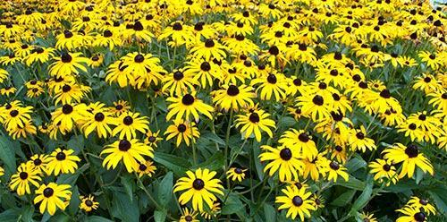 A garden of Black Eyed Susans