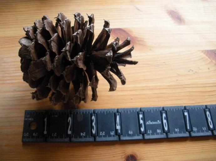 Individual EXTRA LARGE Rustic SILVER-Brown Natural Organic Arizona Ponderosa