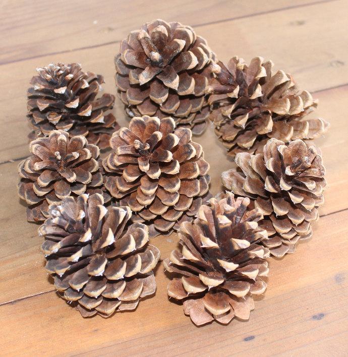 25 EXTRA LARGE Natural Organic Arizona Ponderosa Pinecones Pine Cones winter