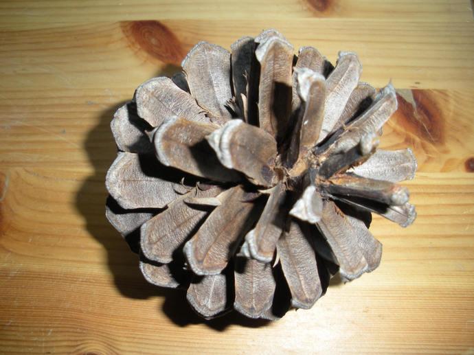 25 EXTRA LARGE Rustic SILVER-Brown Natural Organic Arizona Ponderosa Pinecones