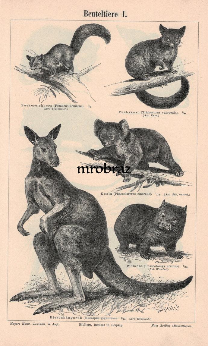 Antique Animal Print, Vintage Animal Illustration, Possum Print, Koala bear