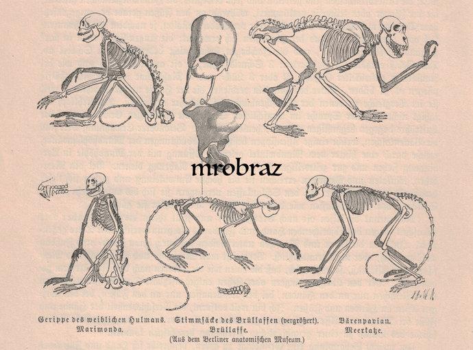 Antique Animal Print, Vintage Animal Illustration, Monkey Print, Human Skeleton,