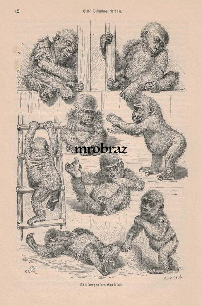 Antique Animal Print, Vintage Animal Illustration, Monkey Print, baby gorilla
