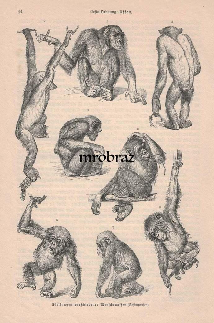 Antique Animal Print, Vintage Animal Illustration, Monkey Print, chimpanzee