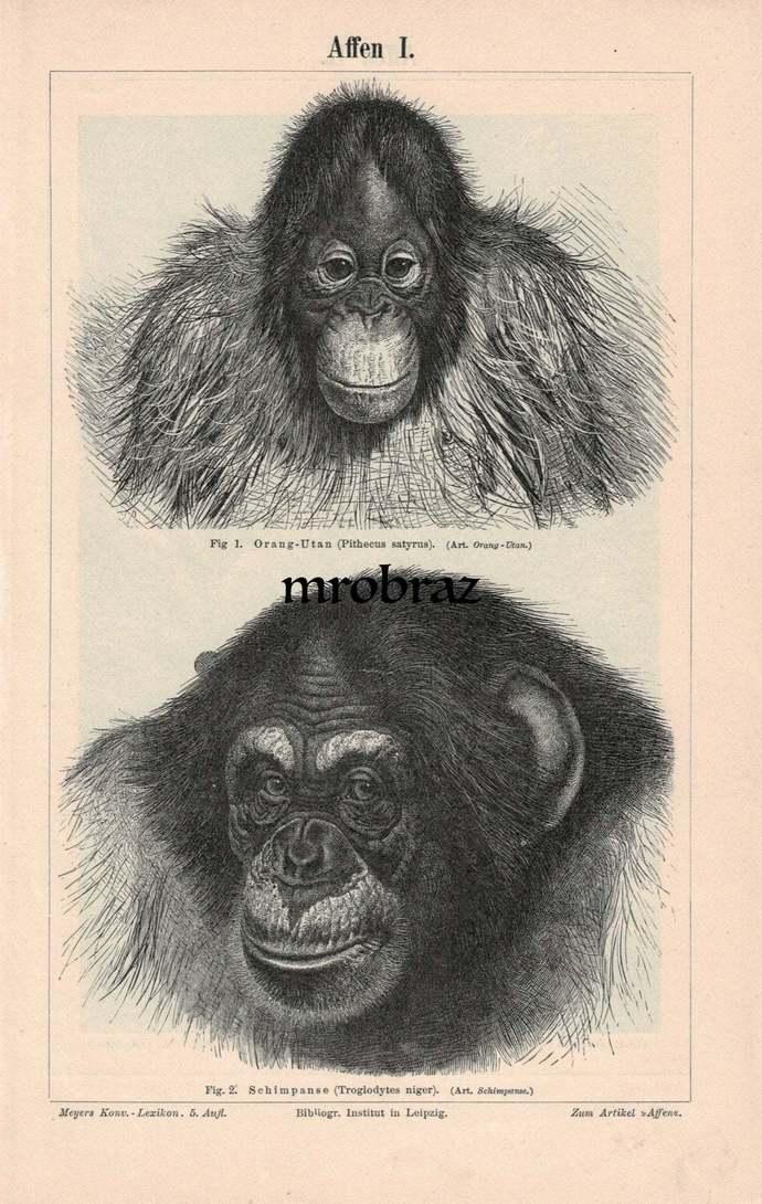 Antique Animal Print, Vintage Animal Illustration, Monkey Print, orang-utan