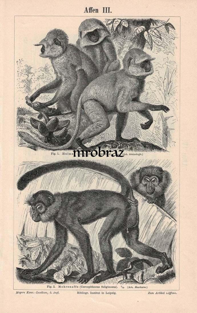 Antique Animal Print, Vintage Animal Illustration, Monkey Print, Hanuman langur,