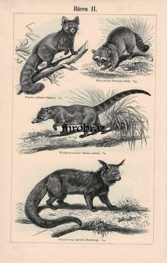 Antique Animal Print, Vintage Animal Illustration, common raccoon, red panda