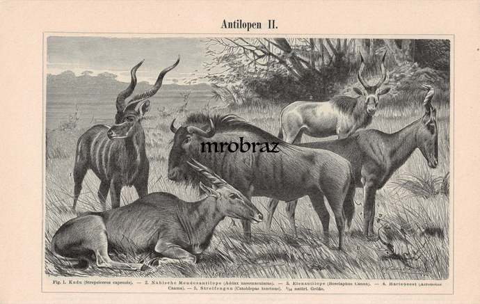 Antique Animal Print, Vintage Animal Illustration, Kudu Print, white antelope