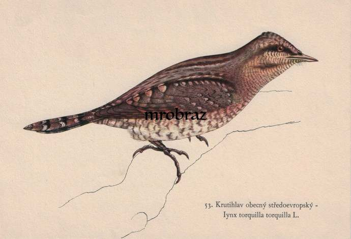 Antique Bird Print, Vintage Bird Illustration, Eurasian wryneck print, Bird Wall