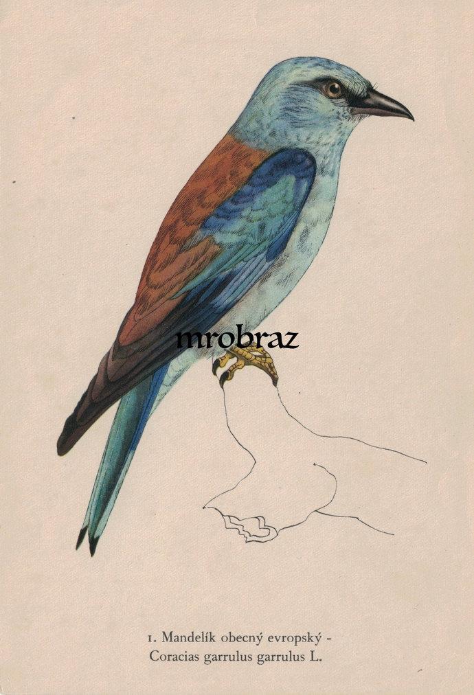 Antique Bird Print, Vintage Bird Illustration, European roller print, Bird Wall