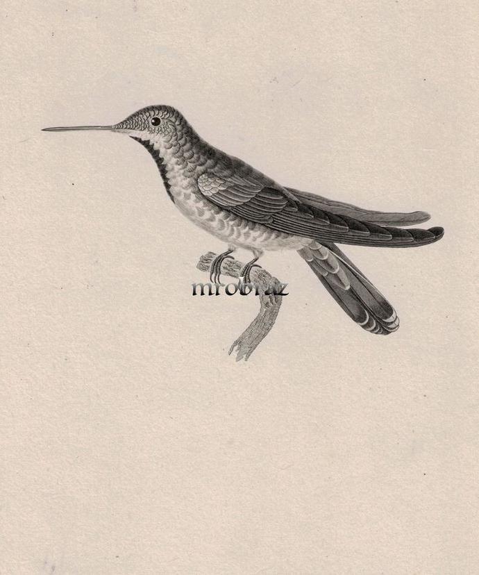 Hummingbird Printable, colibri print, 1835 Antique Bird Print, Vintage Bird