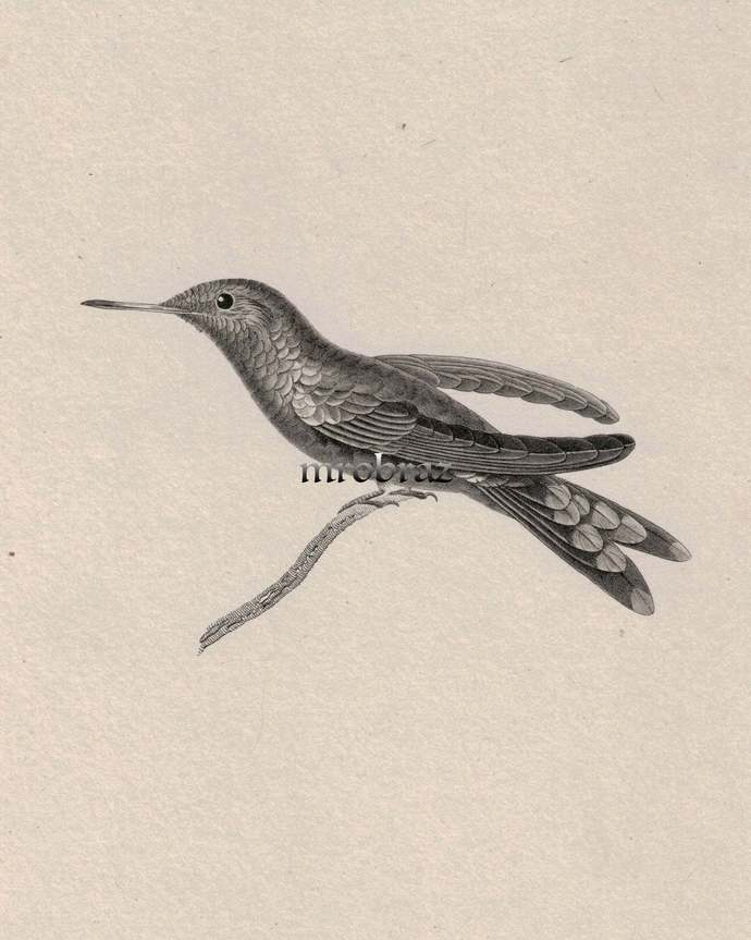 Hummingbird Printable, colibri print, 1835 Antique Bird Print, Vintage Bird