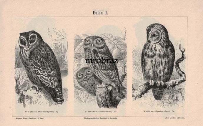 Antique Bird Print, Vintage Bird Illustration, Owls Print, Short-eared Owl,