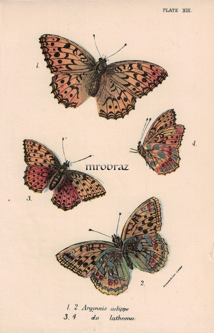 Butterfly Printable, Insect print, Antique Butterflies Print, Silver-washed