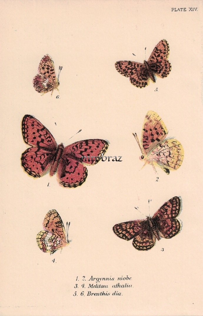 Butterfly Printable, Insect print, Antique Butterflies Print, Niobe fritillary,