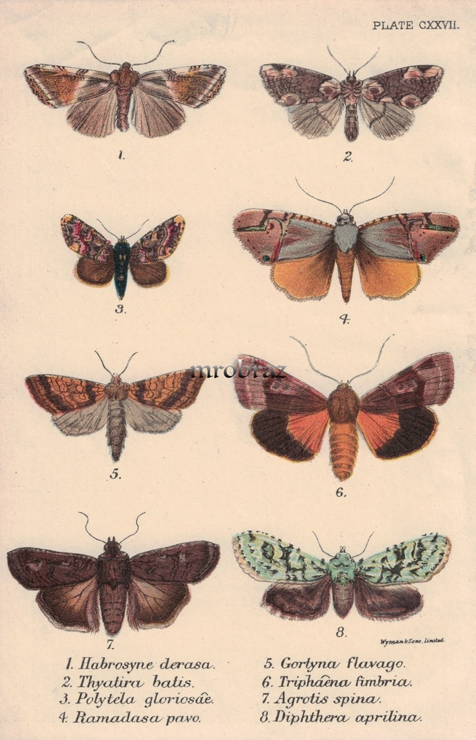 Butterfly Printable, Insect print, Antique Butterflies Print, Bogong moth,