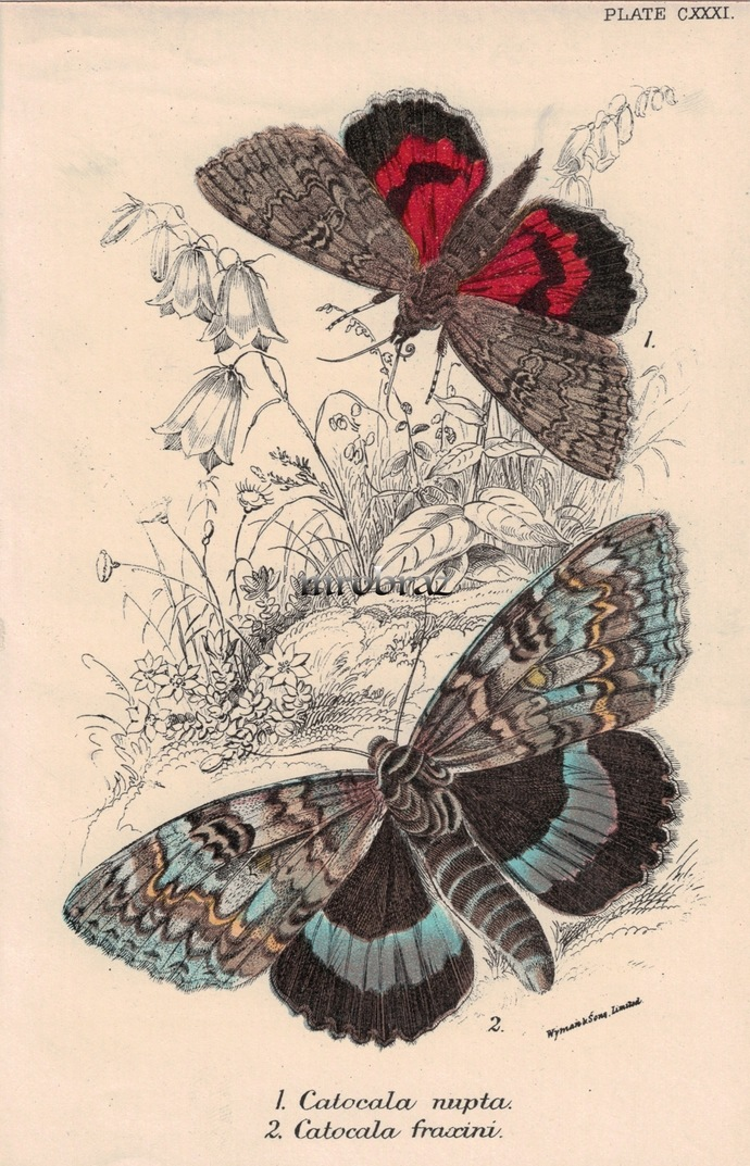 Butterfly Printable, Insect print, Antique Butterflies Print, Red underwing,