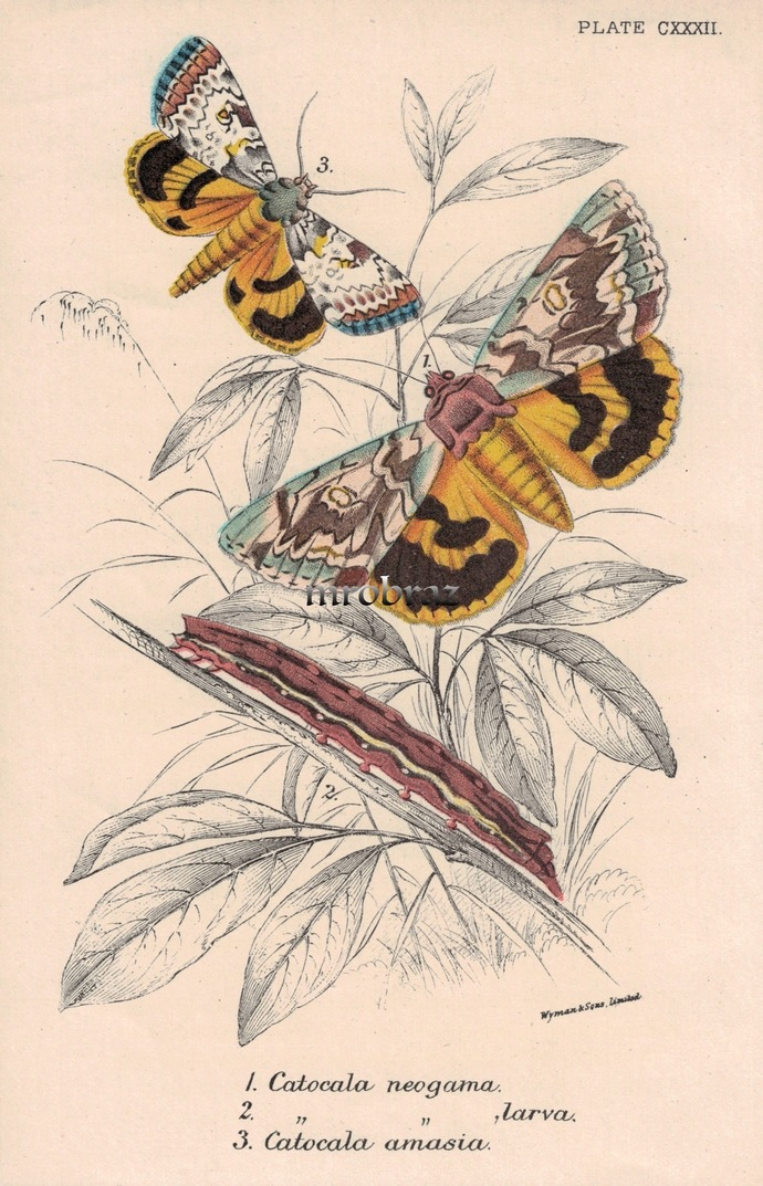Butterfly Printable, Insect print, Antique Butterflies Print, Catocala neogama,