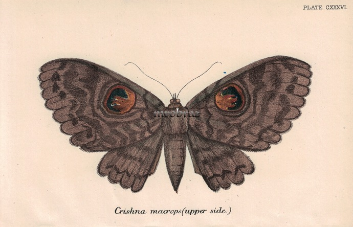 Butterfly Printable, Insect print, Antique Butterflies Print, Erebus print,