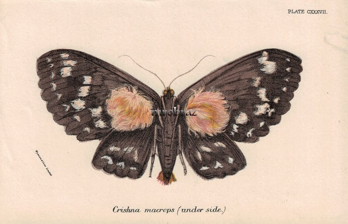 Butterfly Printable, Insect print, Antique Butterflies Print, Erebus moth,