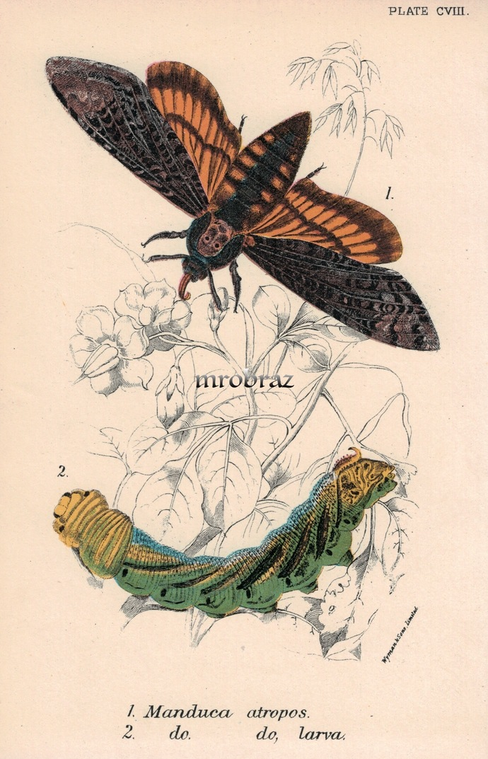 Butterfly Printable, Insect print, Antique Butterflies Print, death's-head