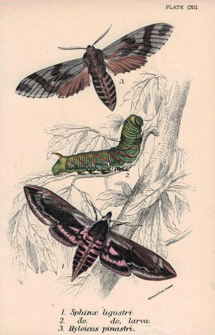 Butterfly Printable, Insect print, Antique Butterflies Print, Privet hawk moth,