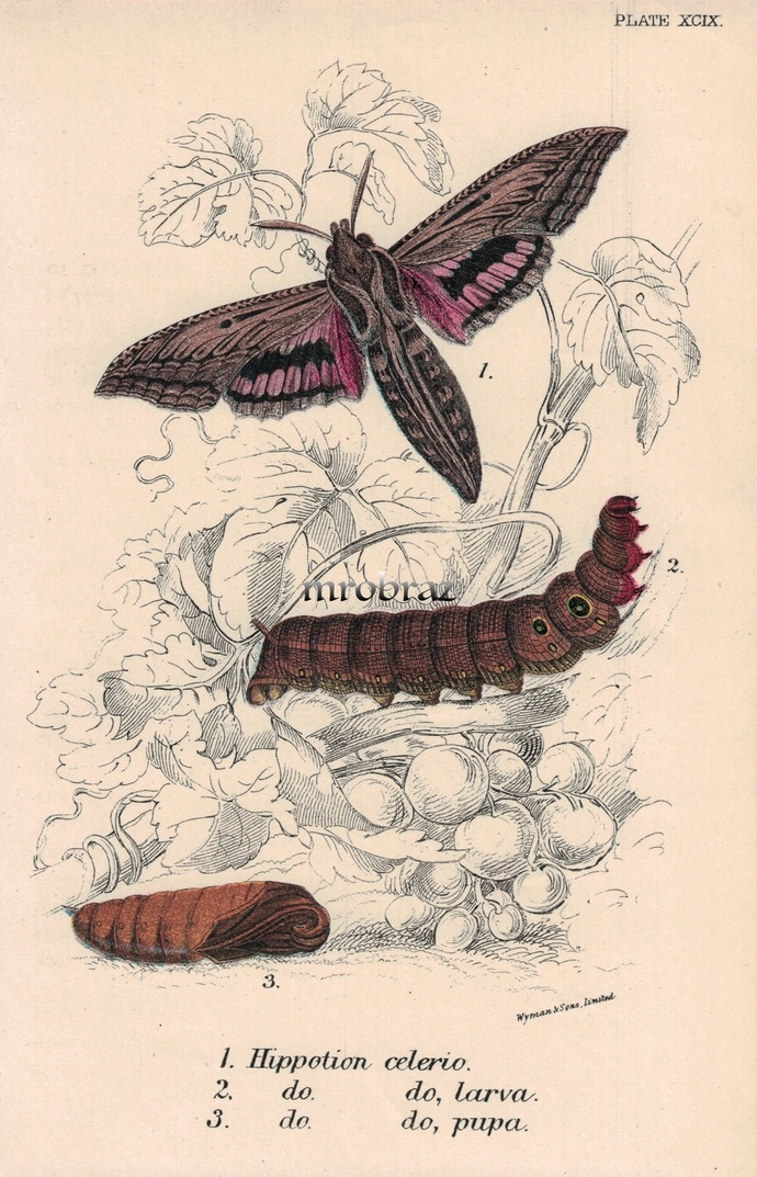 Butterfly Printable, Insect print, Antique Butterflies Print, vine hawk-moth,