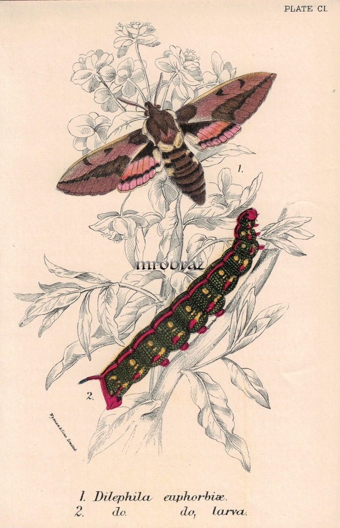 Butterfly Printable, Insect print, Antique Butterflies Print, Spurge hawk-moth,