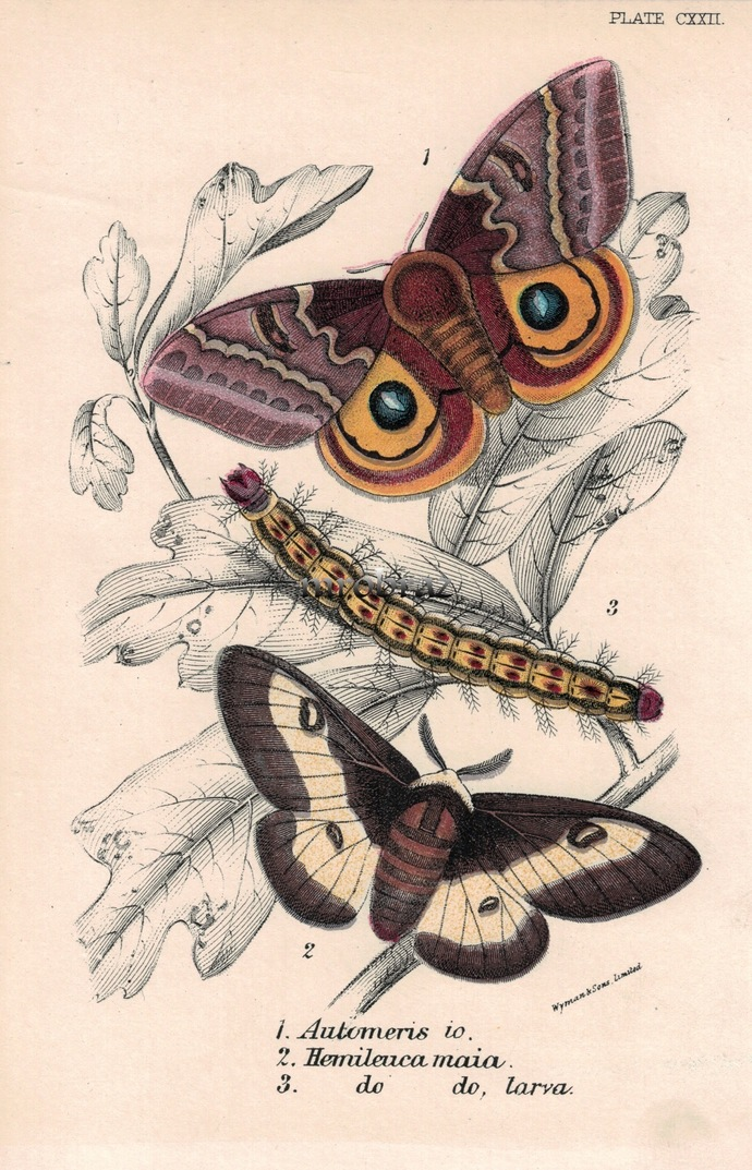 Butterfly Printable, Insect print, Antique Butterflies Print, Io moth, Buck