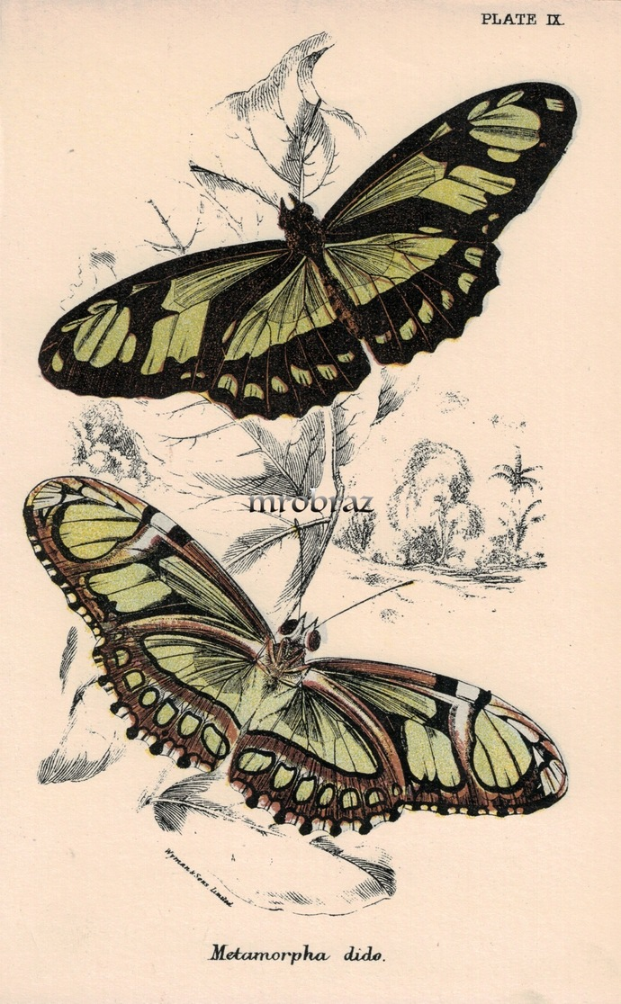 Butterfly Printable, Insect print, Antique Butterflies Print, scarce bamboo