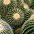 Golden Barrel Cacti Fine Art Photography Postcard, Golden Ball, Mother-in-law's