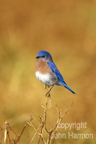 Male Eastern Bluebird Proudly Perched in the Morning Sun, Fine Art Photo Bird