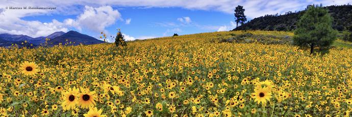 Summer rain brings vibrant sunflowers to Northern Arizona.  Panoramic photo,