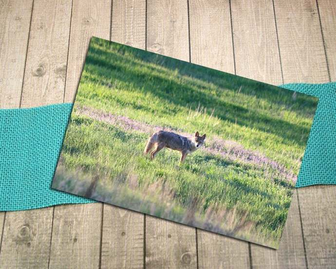 Ghost Canyon Coyote Fine Art Photography Postcard, Wildlife, Nature, Outdoors,