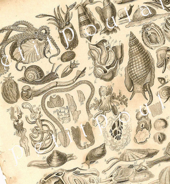 Mollusca 1858 Victorian Oliver Goldsmith Antique Natural History Engravings