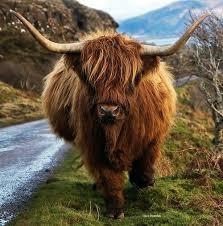 HIGHLAND COW (1) XSTITCH KIT