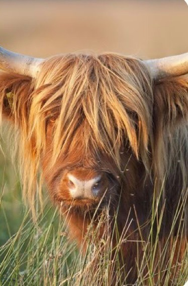 HIGHLAND COW (9) XSTITCH KIT