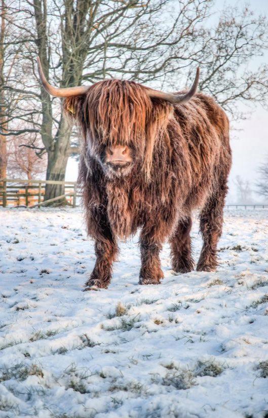 HIGHLAND COW (10) XSTITCH KIT