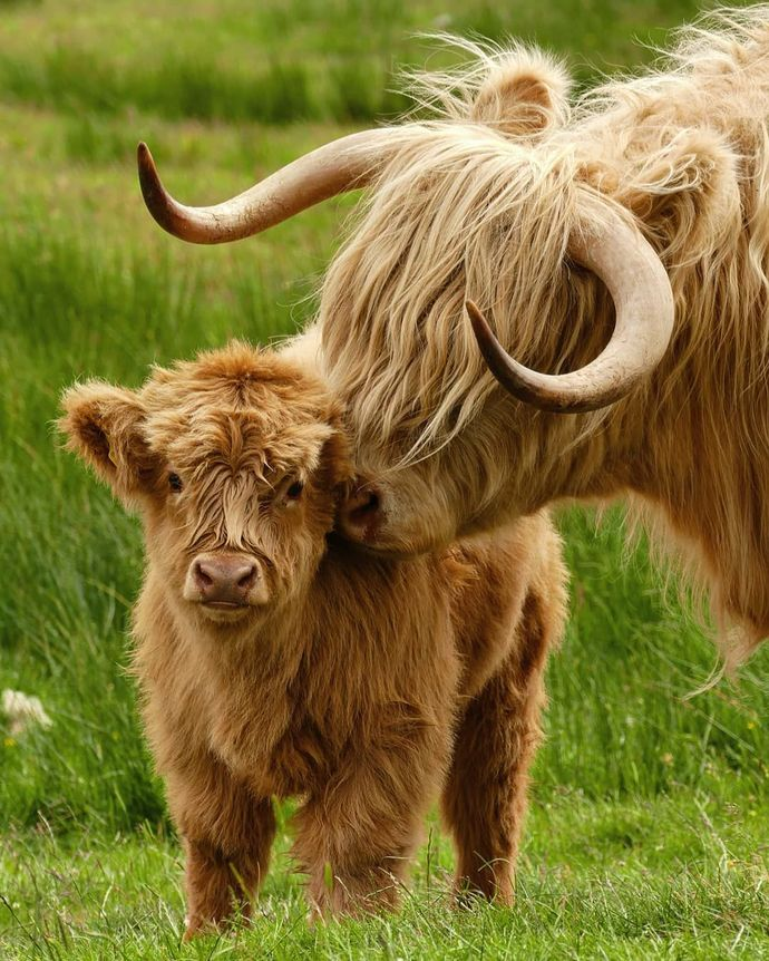 HIGHLAND COW (11) XSTITCH KIT